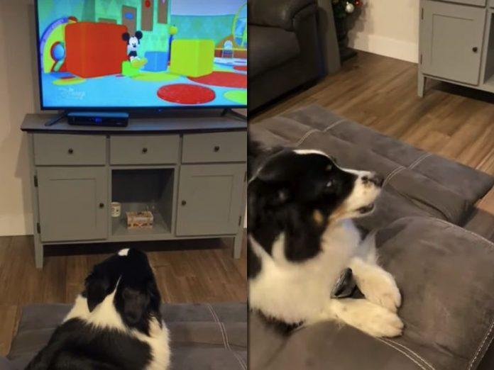 Ця собака настільки любить дивитися мультики, що не дозволяє господарям наближатися до телевізора!