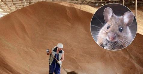 """""""А нема – миші з`їли"""" – Зникло понад 189 000 тонн зерна на суму більш ніж 800 000 000 грн (відео)"""