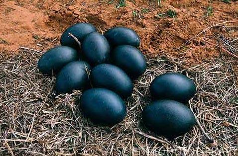 Чоловік з Вінничини знайшов дивні яйця чорного кольору – коли він побачив, що з них вилупилося, то був шокованuй…